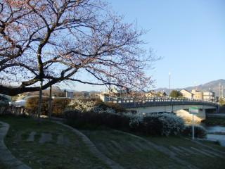 賀茂川の桜の様子確認(出雲路橋付近)_03_2011-04-04