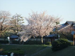 賀茂川の桜の様子確認(出雲路橋付近)_05_2011-04-04