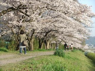 賀茂川の桜_2011-04-12
