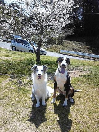 2011原っぱの桜で記念写真(キラ&ラクス)
