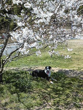 2011桜の下で?♪