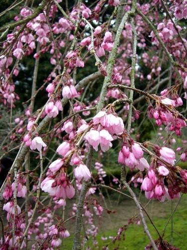 しだれ桜・市民の森にて