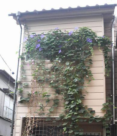 琉球朝顔2010