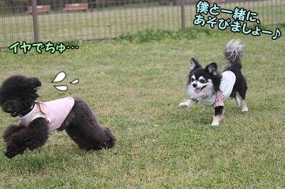 チワワンBoy登場~