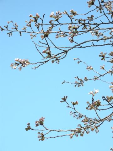 桜が開花2