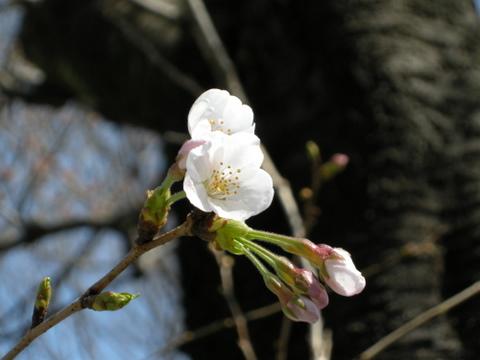 桜が開花1