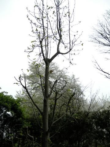 コブシの剪定2010/4/4