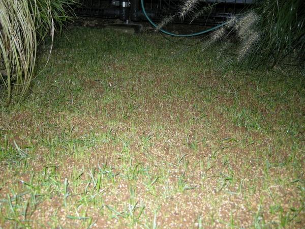 ペレニアル・ライグラスの発芽2010/9/22夜