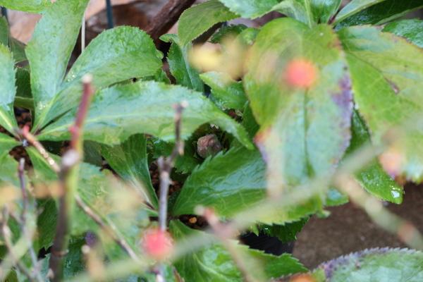 2年前のこぼれ種が開花目前