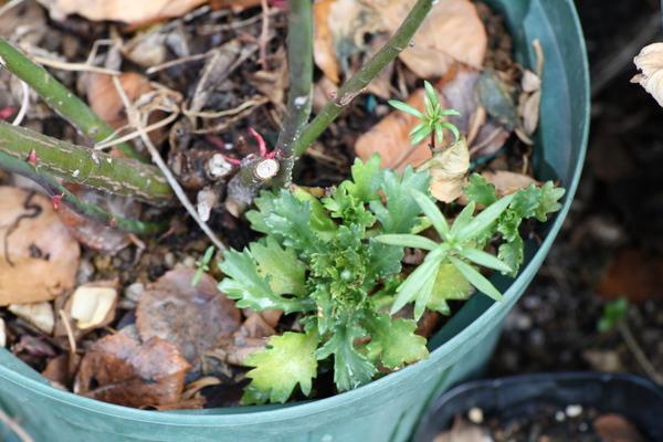 バラ鉢のこぼれ種1