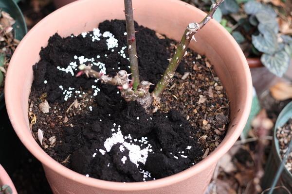 バラ鉢の掘り返し作業1