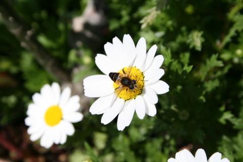 ノースポールと蜂