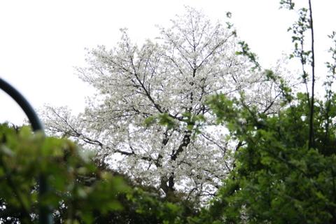 南側の公園の桜