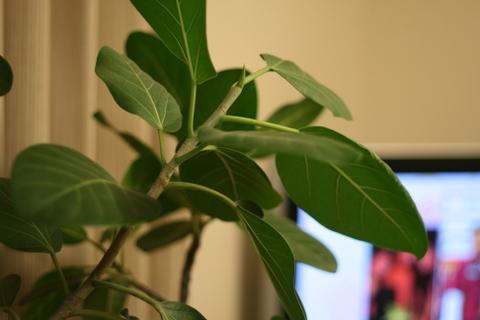 フィカス・ベンガレンシス(ベンガルゴムの木)
