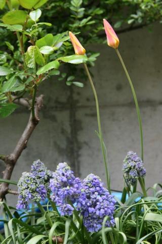原種チューリップとムスカリ