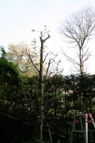 コブシの剪定2010/4/10(剪定後)