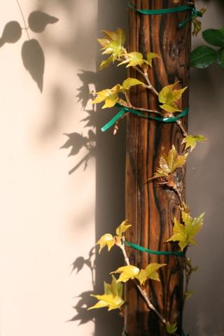 黄金葉ナツヅタ
