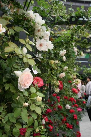 つるバラの風景3