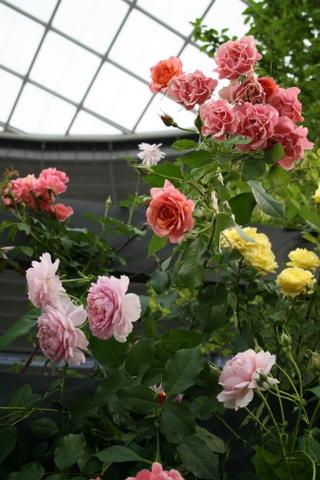 つるバラの風景6