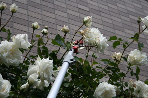 新雪の花がら摘み1