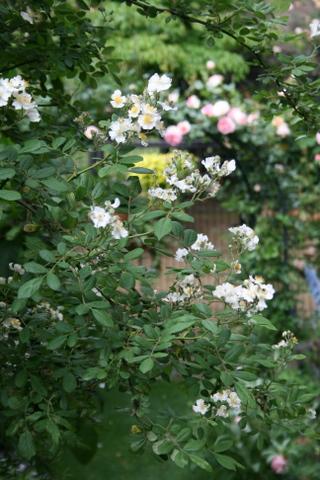 ノイバラ2 2010/5/19