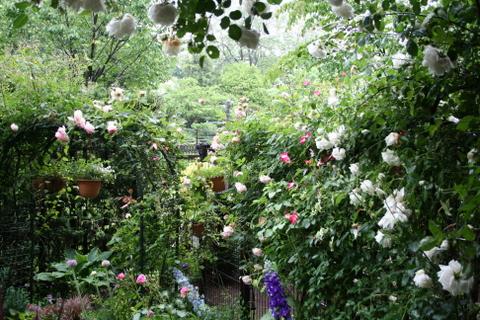 雨にうな垂れるバラ1