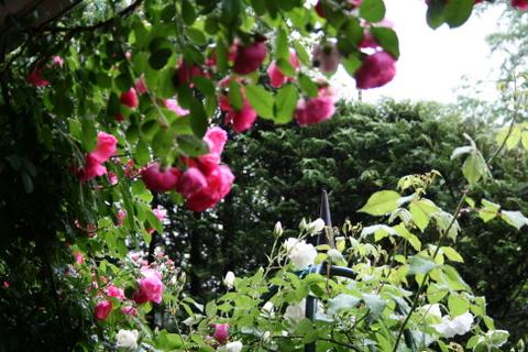 雨にうな垂れるバラ2