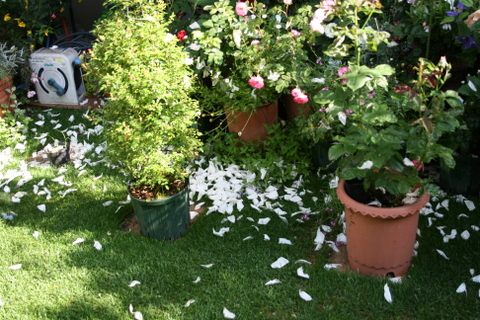 バラの花びらが散る庭