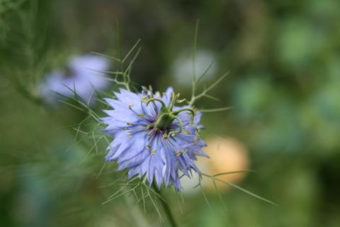 ニゲラ(ブルー)