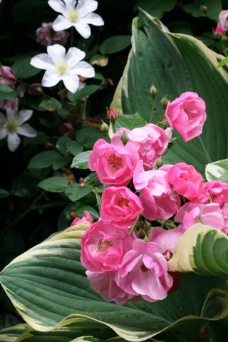 バラとクレマチスとギボウシ