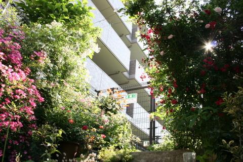 階段上の遅咲きのバラ