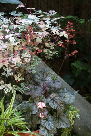ヒューケラと斑入りノブドウ