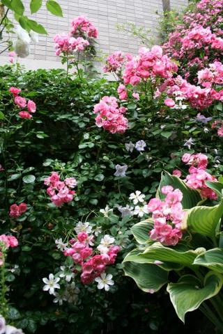 花がら切り後3