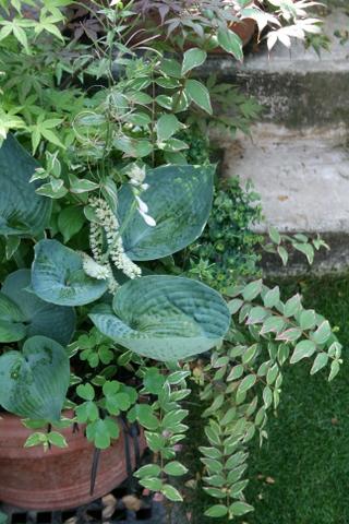アビクア・ドリンキングガードの花芽