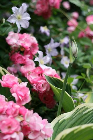 サガエの花芽