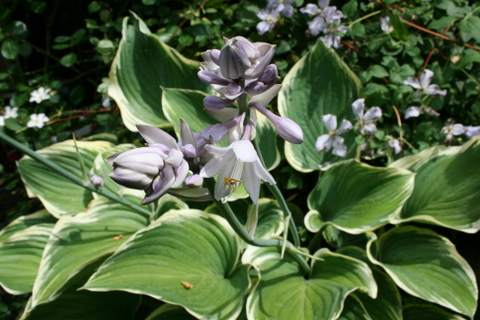 ギボウシ・サガエの花1