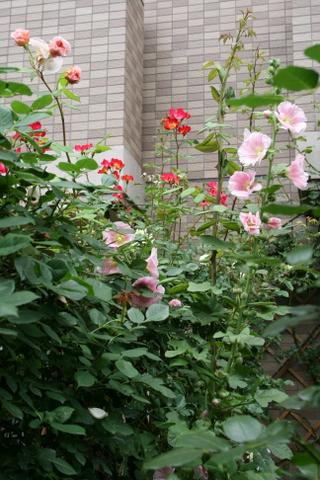 フェンスのバラ2