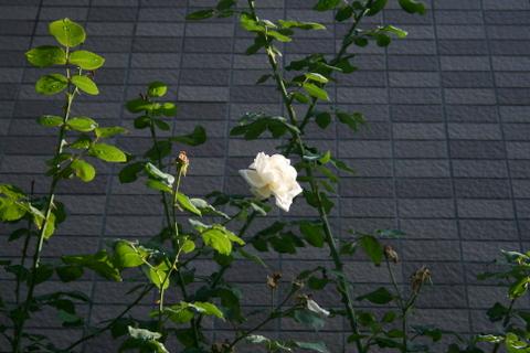 つるバラ「新雪」