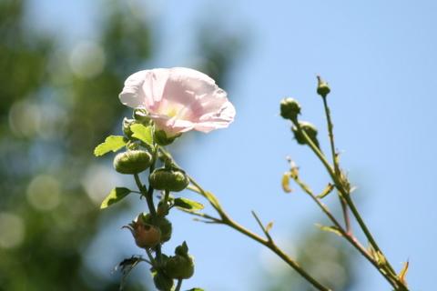 タチアオイの花とウィリアムモリスの蕾
