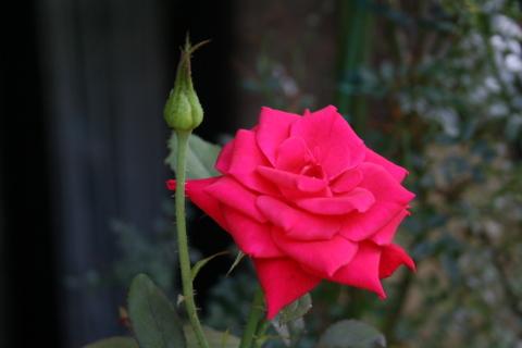 赤の切り花(ローテローゼ?)