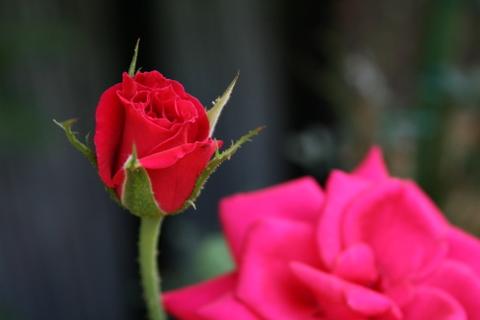 品種不明の赤バラ