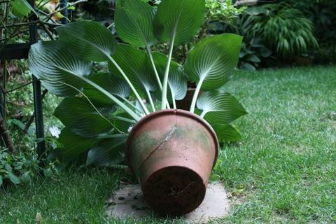 ギボウシ・ハルシオンの鉢の修復