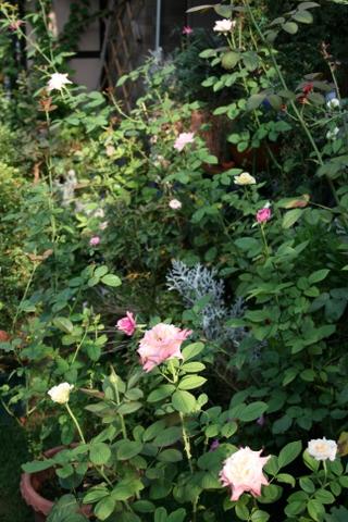 テラス前のバラ