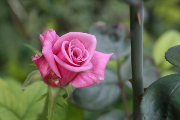 品種不詳のバラ