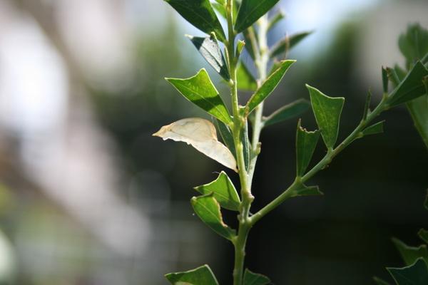 蝶の蛹の抜け殻