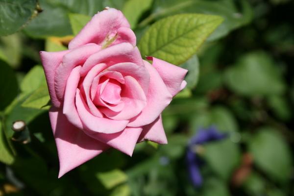 元切り花のバラ