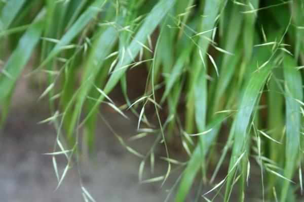 風知草の穂