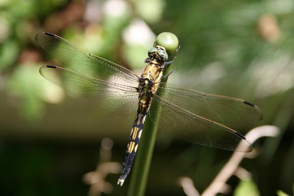 シオカラトンボ(雌)2
