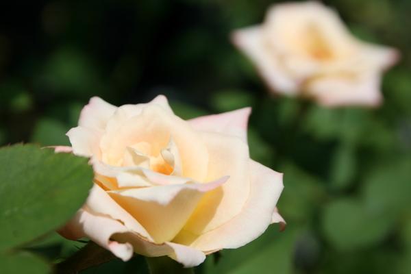 名称不明のバラ1