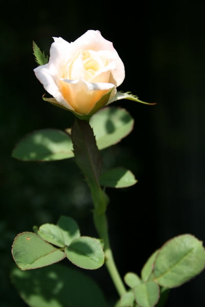 名称不明のバラ2